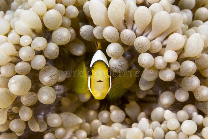 Żółci clownfish obrazy stock