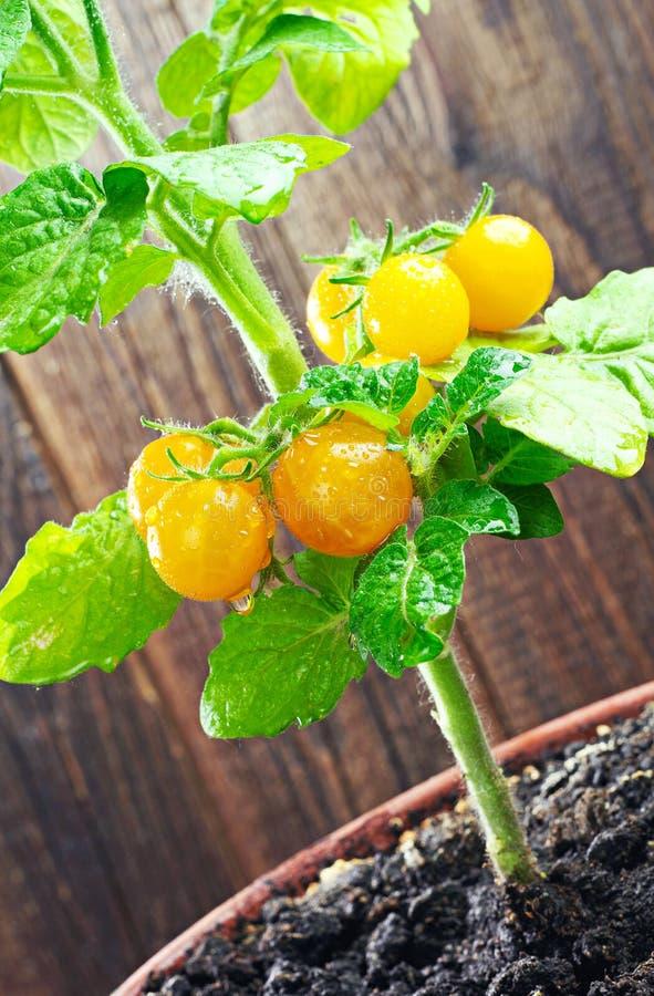Żółci czereśniowi pomidory obraz royalty free