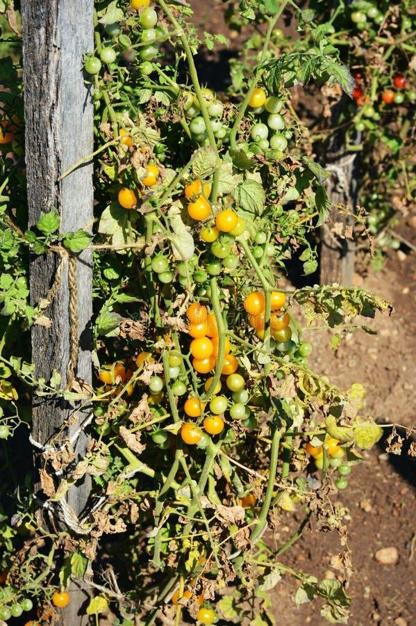 Żółci czereśniowi pomidory zdjęcia royalty free