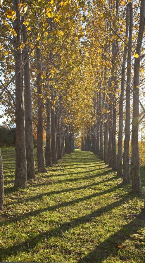 Żółci drzewa w spadku zdjęcia stock