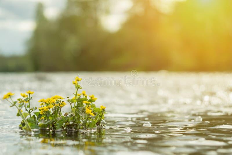 Żółci dzicy kwiaty rzeką z słońce promieniami obrazy stock
