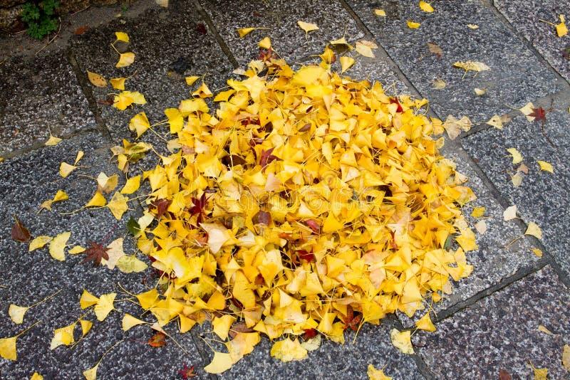 Żółci Ginko liście na podłoga fotografia royalty free