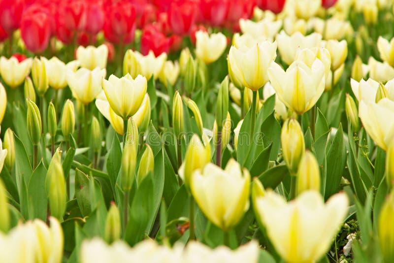 Żółci i czerwoni tulipany obrazy royalty free