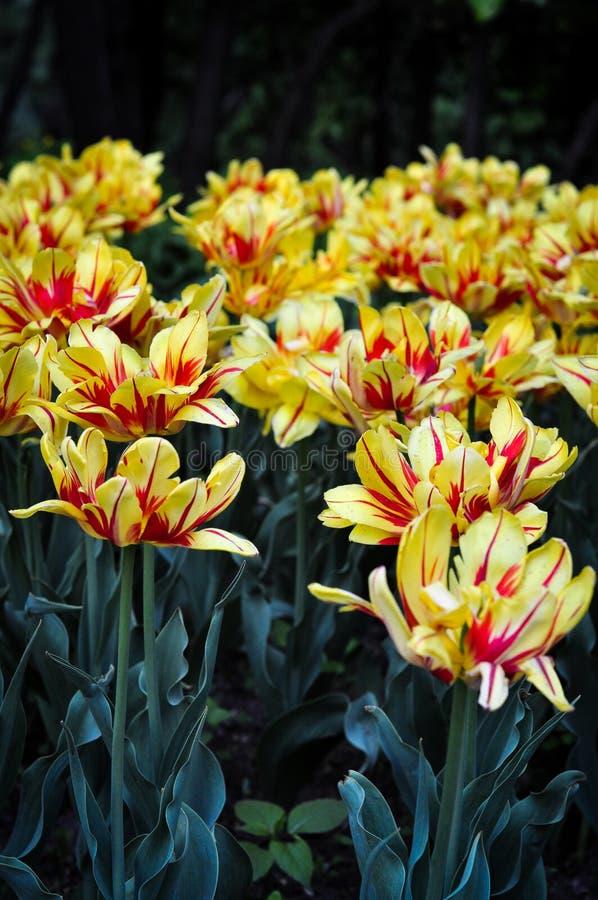 Żółci i czerwoni tulipany w lecie obrazy stock