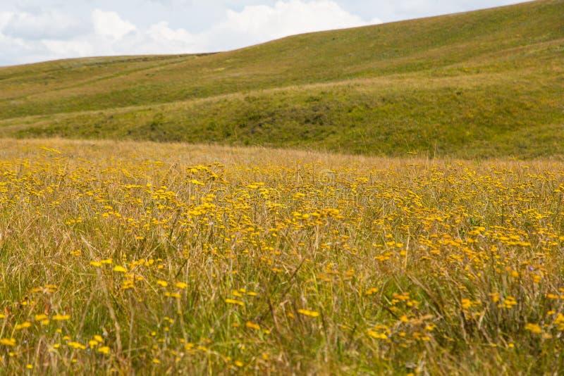 Żółci kwiaty, Drakensberg zdjęcia stock