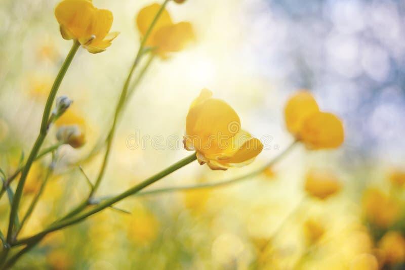 Żółci kwiaty jaskier zdjęcia royalty free