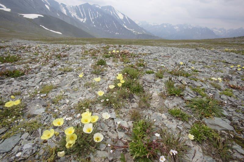 Żółci maczków kwiaty Altai góry krajobraz fotografia royalty free