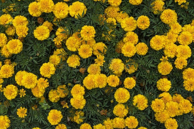 Żółci nagietki zdjęcia stock