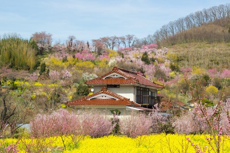 Żółci nanohana pola i kwiatonośni drzewa zakrywa zbocze, Hanamiyama park, Fukushima, Tohoku, Japonia obraz stock