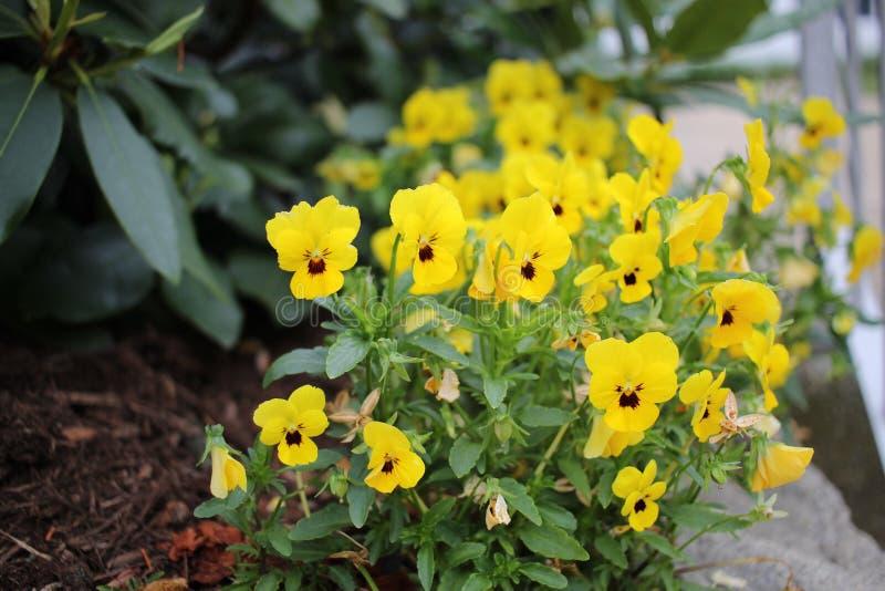 Żółci pansies fotografia stock