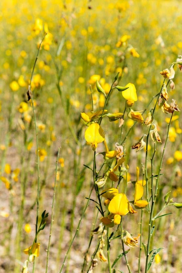 Żółci pola Crotalaria junceasunn konopie w Phetchabun prowinci, północny Tajlandia zdjęcia stock
