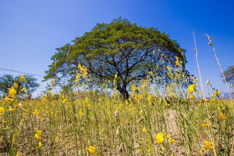 Żółci pola Crotalaria junceasunn konopie z wielkimi Podeszczowymi drzewami w odległości obraz stock