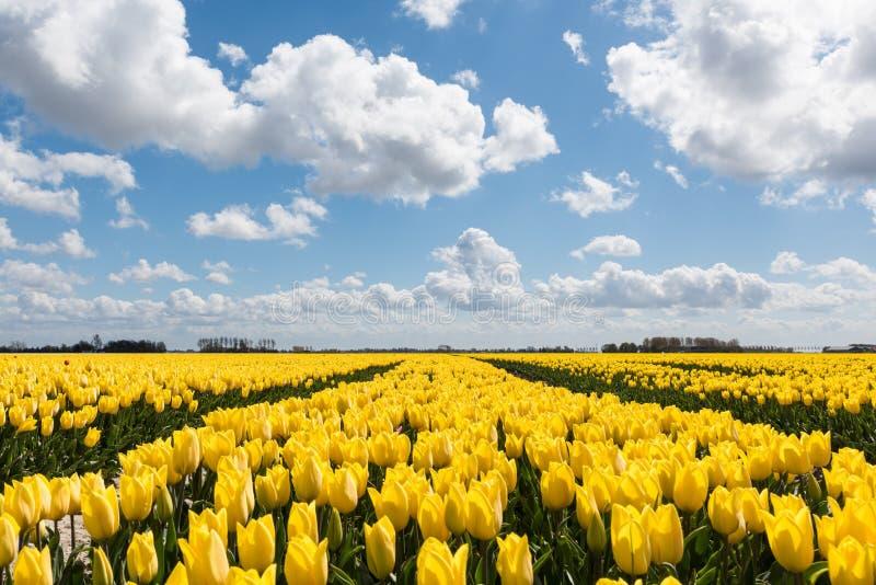 Żółci tulipanów pola pod błękitem chmurnieli niebo fotografia stock