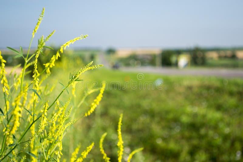 Żółci wildflowers ostro i z powrotem out zamazujący zdjęcia stock