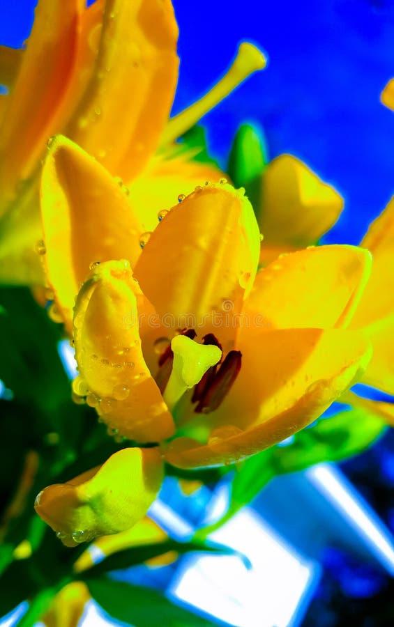 Żółci wiosna tulipany zdjęcia royalty free