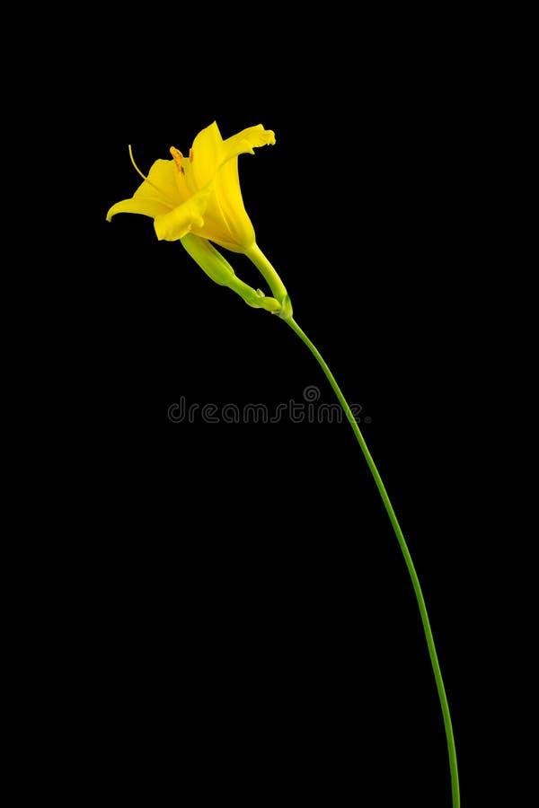 Żółta dzień leluja na ciemnym tle zdjęcia stock
