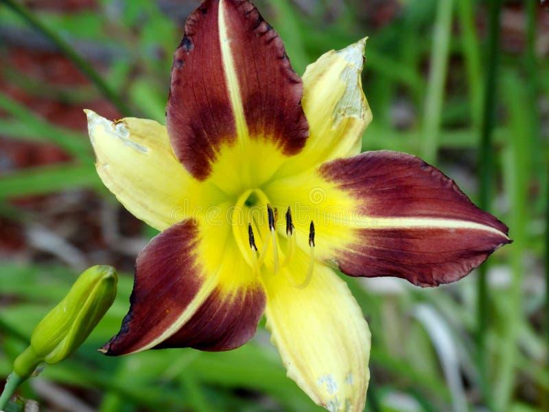 Żółta i purpurowa leluja obraz stock