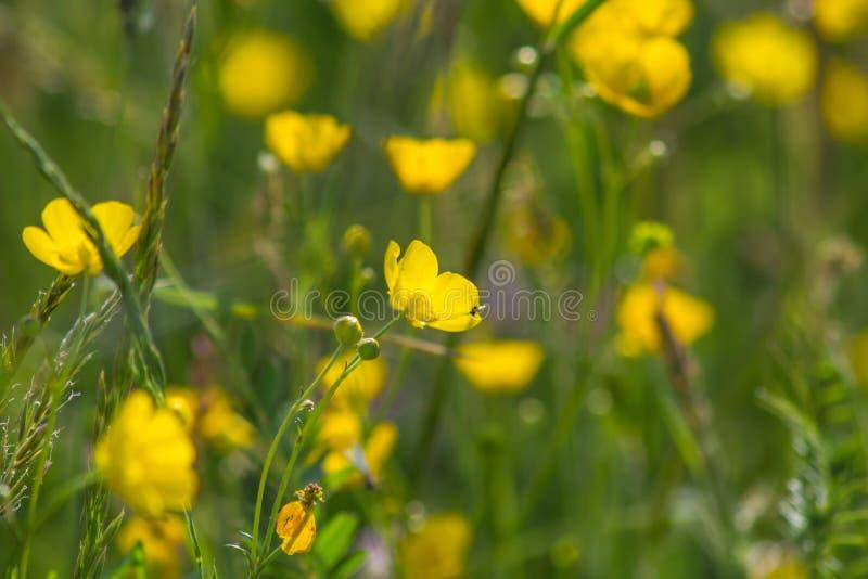 Żółta jaskier łąka obraz stock