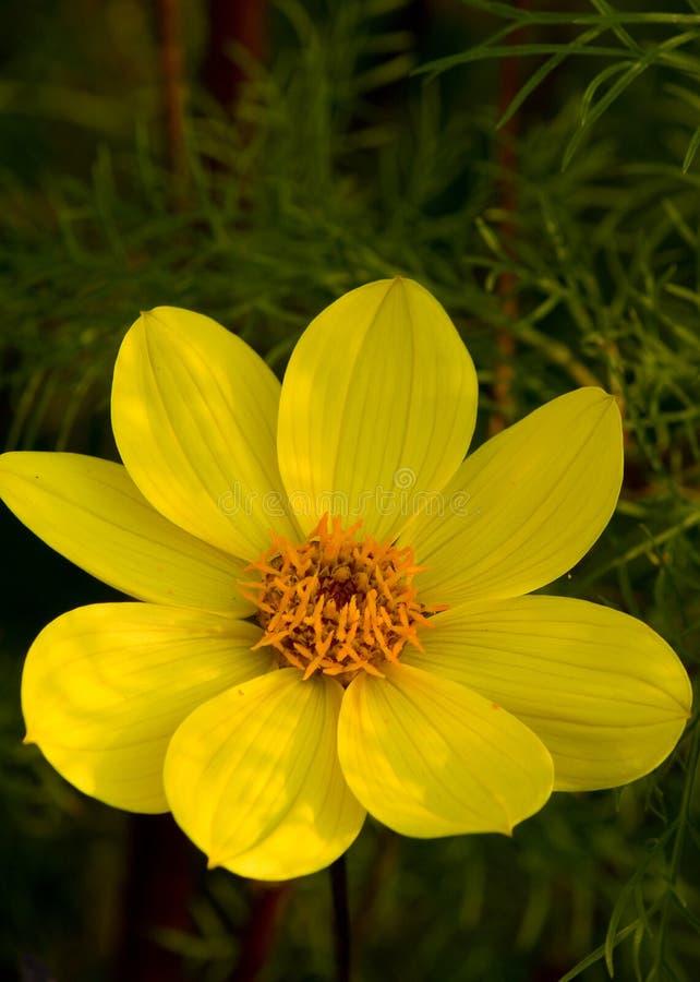 Żółta kosmosu kwiatu głowa obraz royalty free