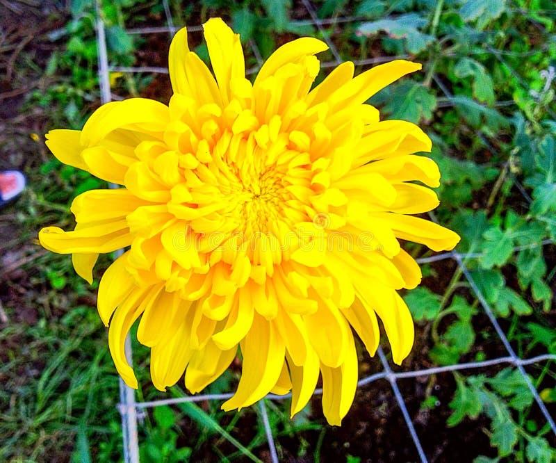 Żółta kwiat chryzantema zdjęcia stock