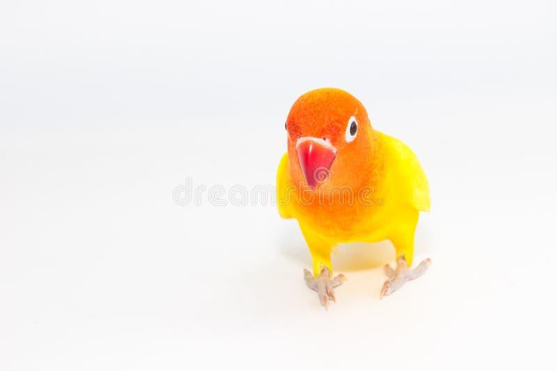 Żółta Lovebird pozycja zdjęcia stock