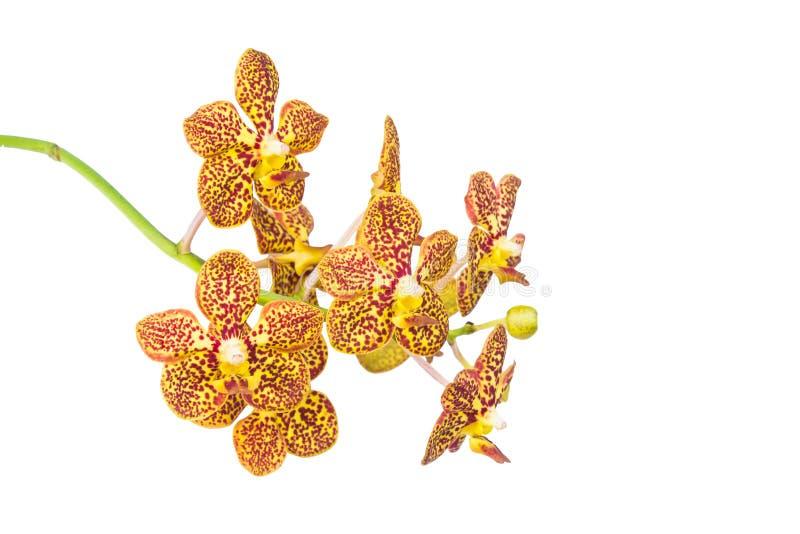 Żółta orchidea zdjęcia stock