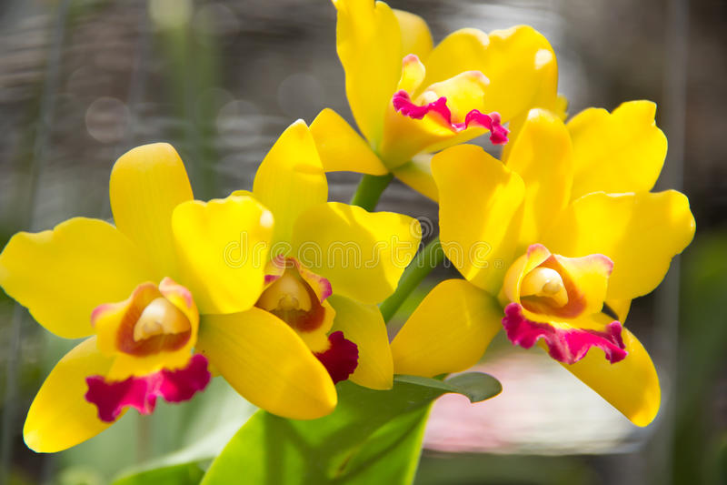 Żółta orchidea zdjęcie stock
