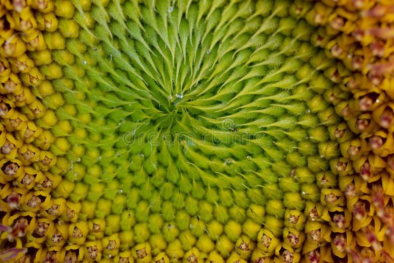 Żółta Słonecznikowego ziarna spirala fotografia stock