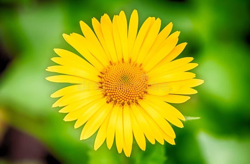 Żółta stokrotka na zielonym tle zdjęcie stock