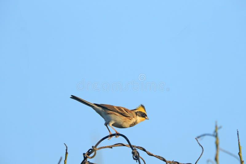 Żółta throated chorągiewka na gałąź drzewo zdjęcia royalty free