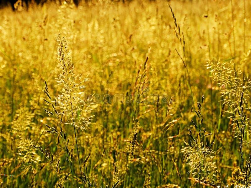 Żółta trawa zdjęcie royalty free