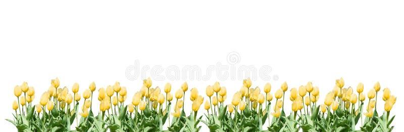 Żółta tulipan granica obrazy royalty free