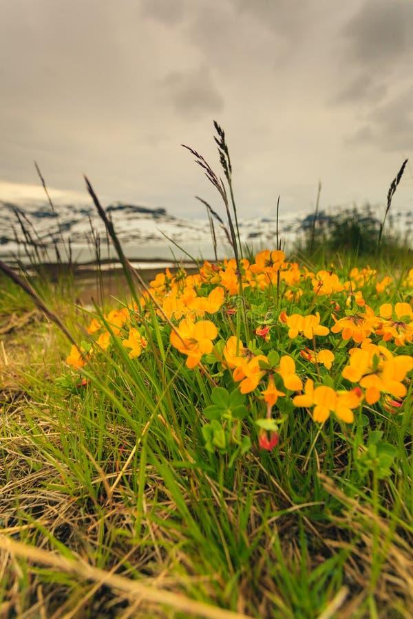 Żółta wiosna kwitnie w norweskich górach fotografia royalty free