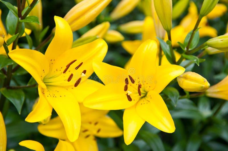 Żółte leluje, zamykają up zdjęcie stock