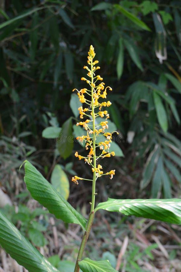 Żółtego Globba winiti imbirowy kwiat obraz stock