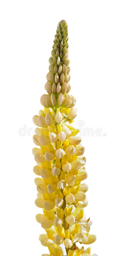 Żółtego lupine kwiat obraz royalty free