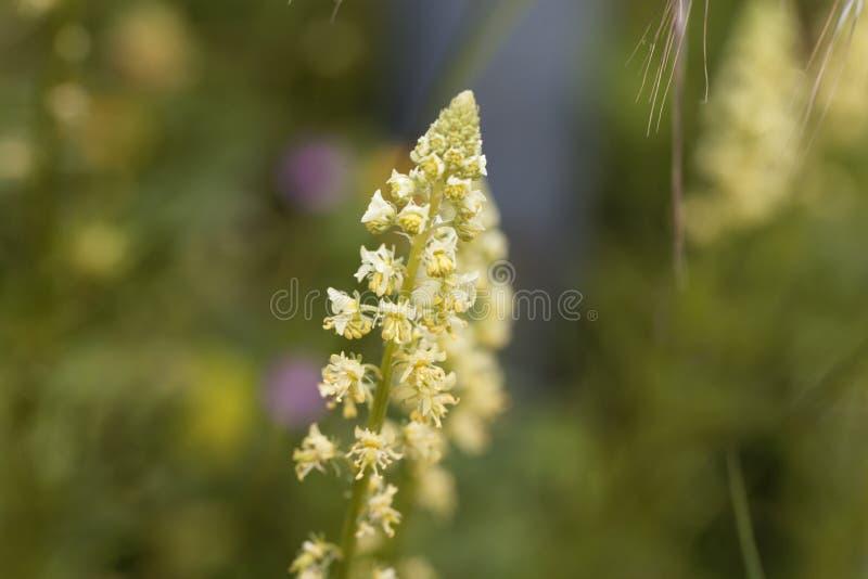 Żółtego mignonette Rezedowy lutea fotografia stock