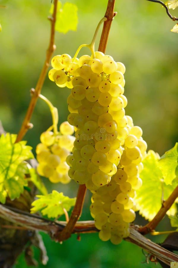 Żółtego wina winogrono zdjęcia stock