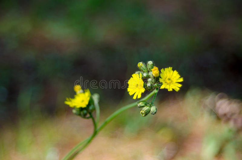 Żółty świrzepa kwiat Jaskier, zakończenie up w nasłonecznionym ranku polu obrazy stock