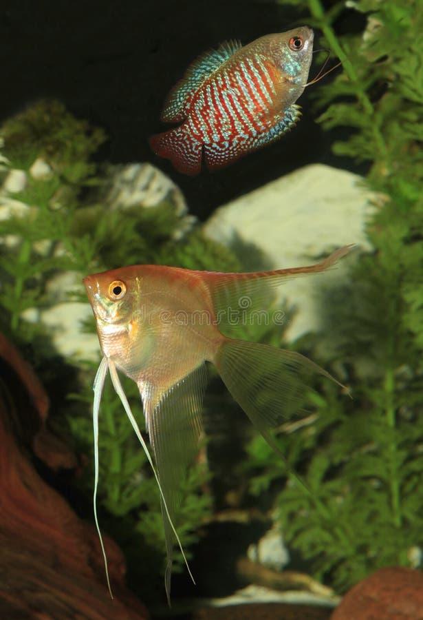 Żółty Angelfish i karła Gourami pływanie w akwarium zdjęcie royalty free