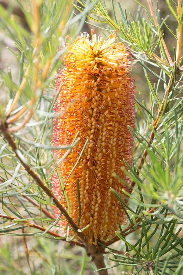 Żółty Australijski rodzimy Banksia kwiat fotografia stock