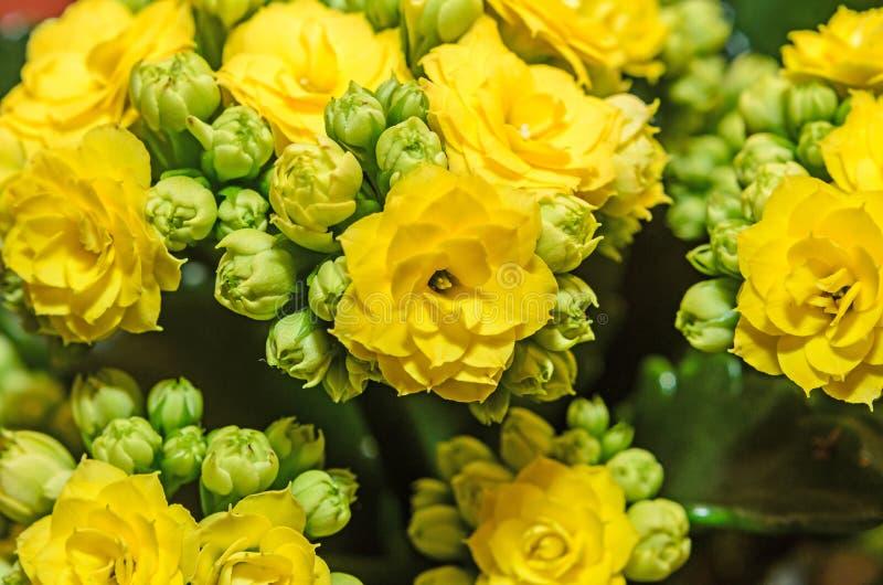 Żółty Calandiva kwitnie Kalanchoe, rodzinny Crassulaceae, zakończenie up obraz stock