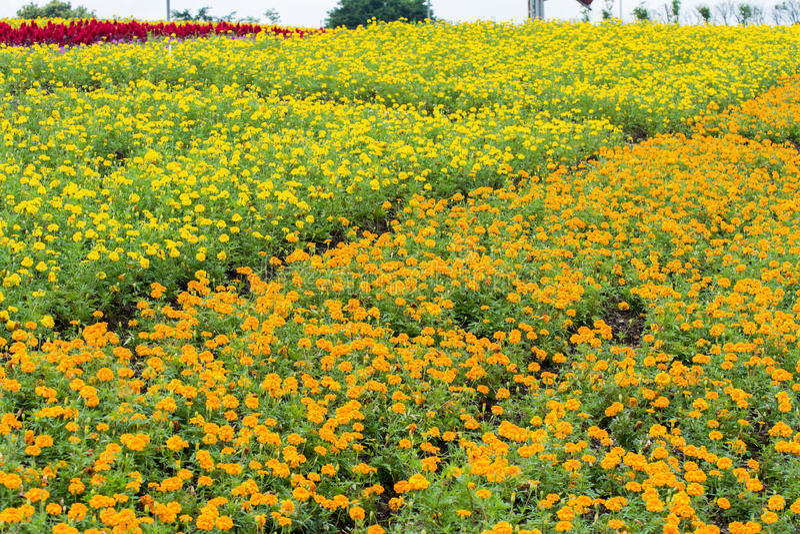 Żółty chryzantema kwiat segregujący i domowy fotografia stock
