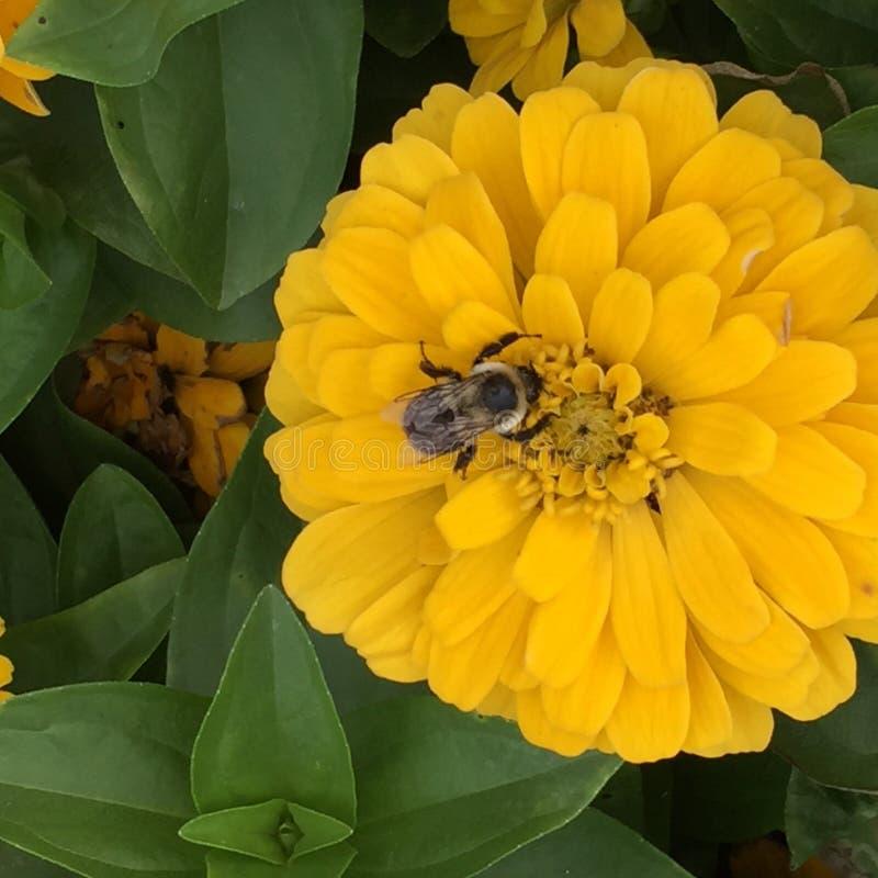 Żółty cynia kwiat z bumblebee obraz stock