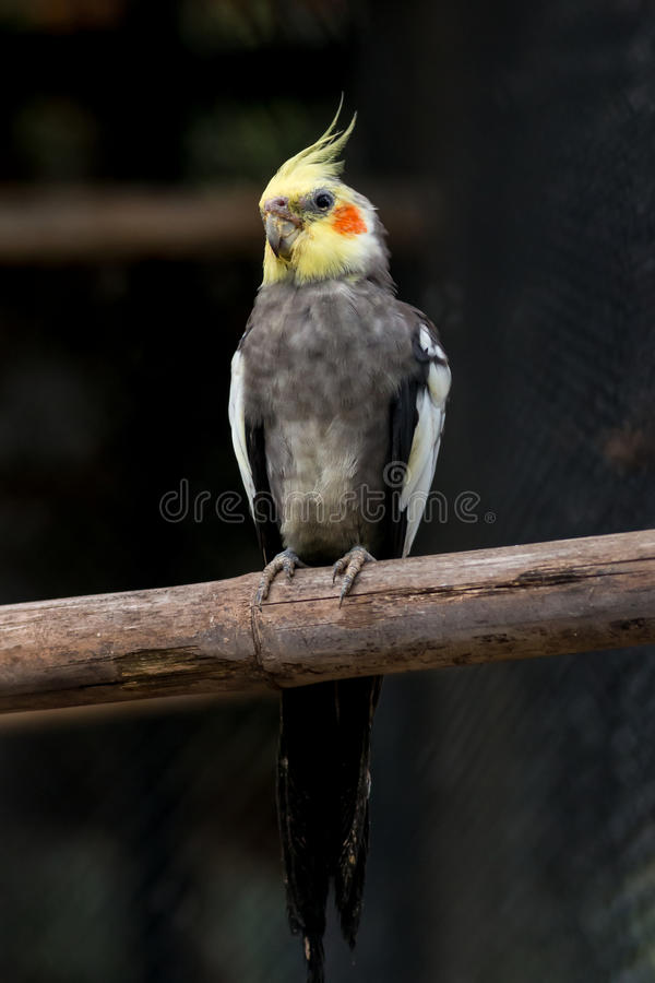 Żółty czarny cockatiel parakeet obraz royalty free