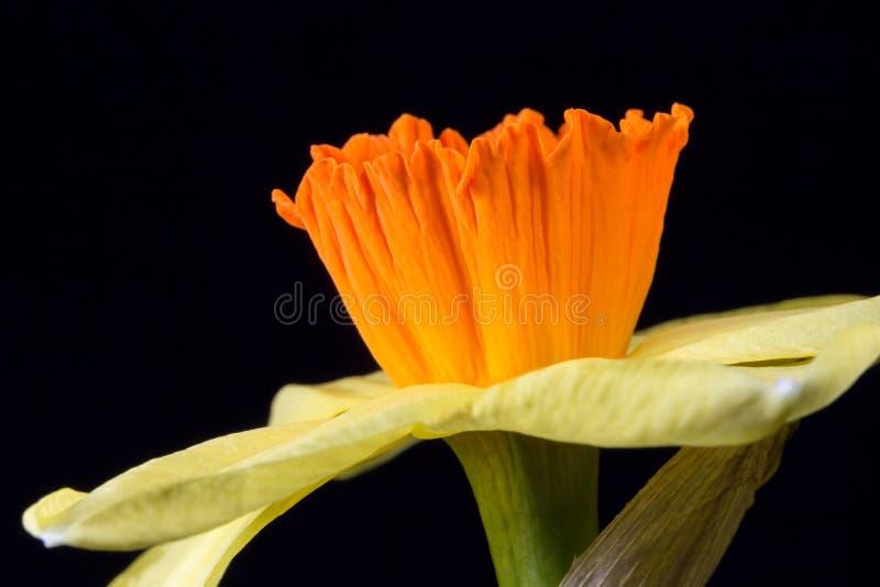 Żółty daffodil obraz stock
