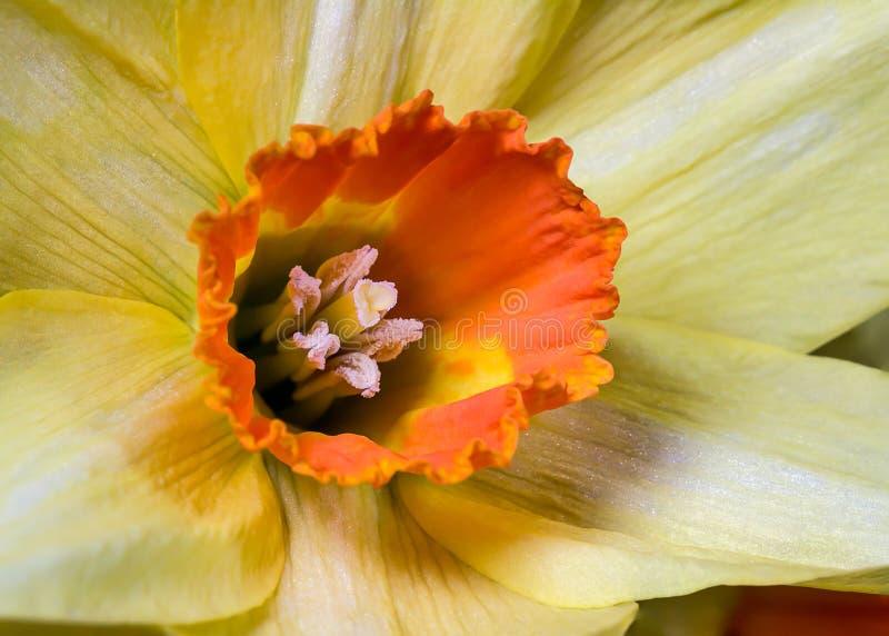 Żółty daffodil obrazy stock