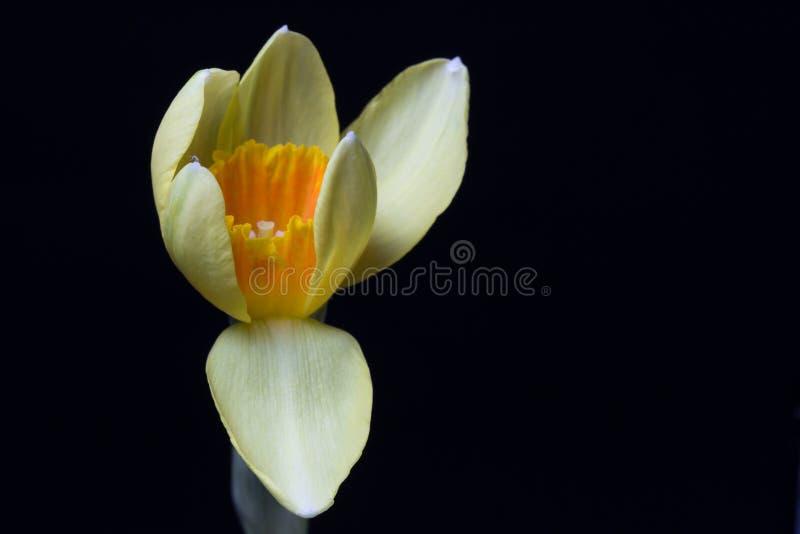 Żółty daffodil fotografia royalty free