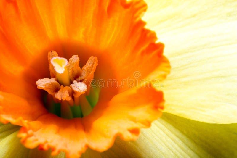 Żółty daffodil zdjęcia royalty free