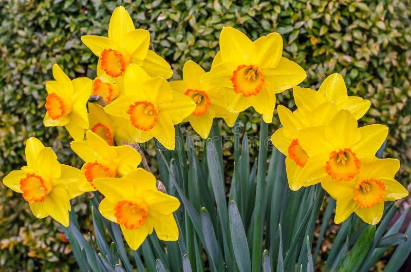 Żółty Daffodil grono fotografia stock